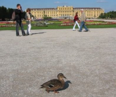 Schoenbrunn_Duck