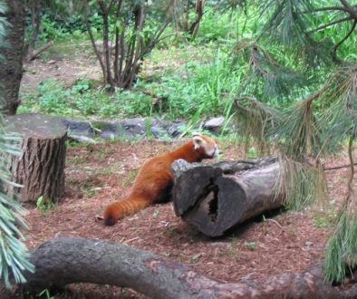 Red Panda, Central Park Zoo