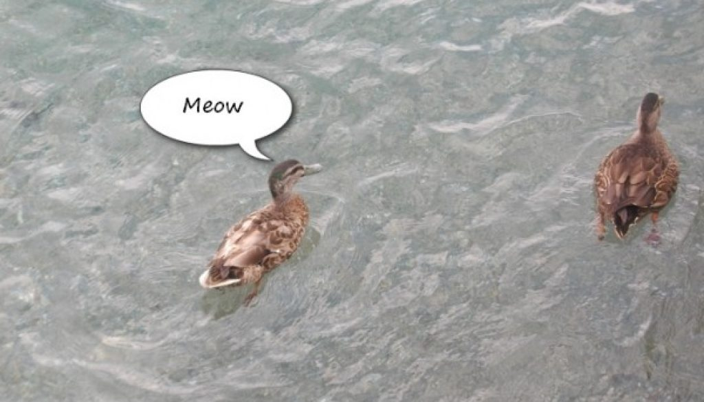 Meow From a Duck