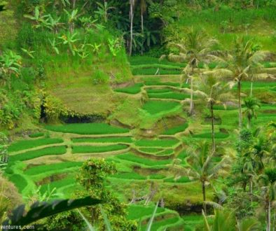 Bali rice terraces for Andy